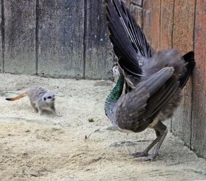 peacocksm2