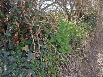 Hedge topped ivy covered
